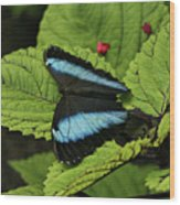 Morpho Butterfly Wood Print