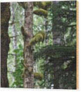 Moss-draped Trees On Tiger Mountain Wt Usa Wood Print