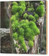 Mossy Fence - 365-321 Wood Print