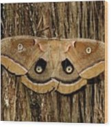 Moth On Cedar Tree Wood Print