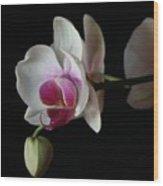 Moth Orchid 1 Wood Print