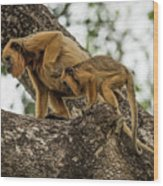 Mother And Baby Black Howler Monkeys Climbing Wood Print