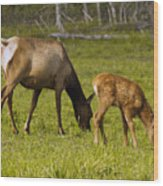 Mother Elk And Fawn Wood Print