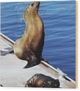 Mother And Baby Sea Lion At Oceanside  Wood Print