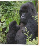 Mother And Suckling Baby Gorillas Wood Print