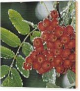Mountain Ash Berries In Rain Wood Print