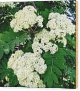 Mountain Ash Blossoms Wood Print