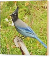 Mountain Blue Jay Wood Print