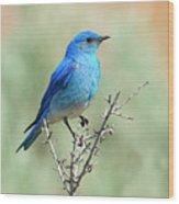 Mountain Bluebird Beauty Wood Print