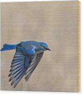 Mountain Bluebird Male In Flight Wood Print