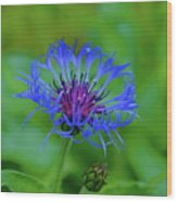 Mountain Cornflower Wood Print by Byron Varvarigos