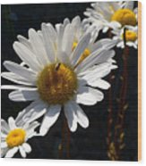 Mountain Daisy Wood Print