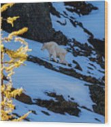 Mountain Goat And Larches Wood Print