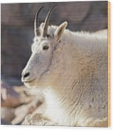 Mountain Goat Billy Basks In The Morning Sun Wood Print