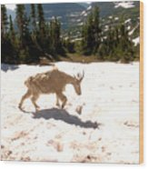 Mountain Goat Crossing A Snow Patch Wood Print