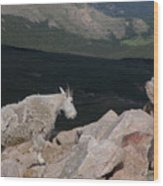 Mountain Goat Wood Print