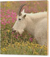 Mountain Goat In Colorful Field Of Flowers Wood Print