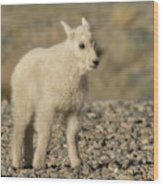 Mountain Goat Kid Wood Print
