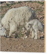 Mountain Goat Kid Stretches By Mom Wood Print