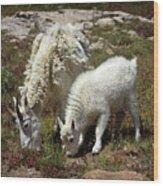 Mountain Goat Nanny And Kid Foraging At Columbine Lake - Weminuche Wilderness - Colorado Wood Print
