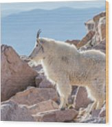 Mountain Goat Takes In Its High Altitude Home Wood Print