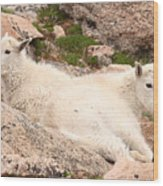 Mountain Goat Twins Wood Print