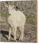 Mountain Goat Yearling Wood Print