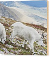 Mountain Goats 1 Wood Print