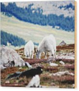 Mountain Goats 2 Wood Print