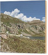 Mountain Goats At Columbine Lake - Weminuche Wilderness - Colorado Wood Print