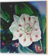 Mountain Laurel Blossom Closeup Wood Print