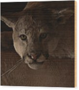 Mountain Lion A Large Graceful Cat Wood Print