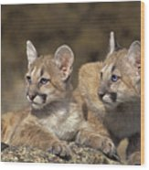 Mountain Lion Cubs On Rock Outcrop Wood Print