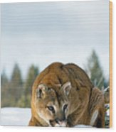 Mountain Lion In Winter Wood Print