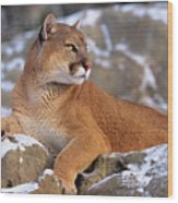 Mountain Lion On Snow-covered Rock Outcrop Wood Print