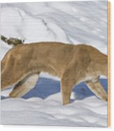 Mountain Lion Puma Concolor Hunting Wood Print