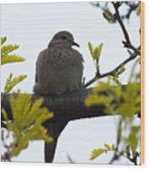 Mourning Dove 2 Wood Print