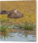 Mourning Dove In Flight Wood Print