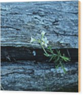 Mouse Eared Chickweed Wood Print