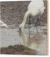 Muddy Tundra Swan Wood Print
