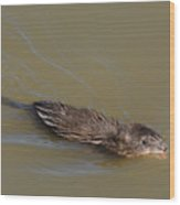 Muskrat Swimming In Lake With Mouth Open Underwater Wood Print