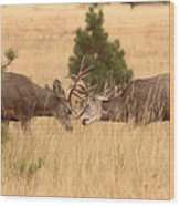 Mule Deer Bucks Sparring In Open Pine Woodlands Wood Print