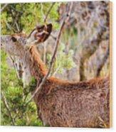 Mule Deer Foraging On Pine On A Colorado Spring Afternoon Wood Print