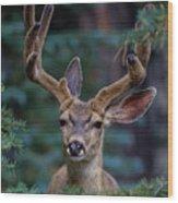 Mule Deer In Velvet 02 Wood Print