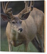 Mule Deer In Velvet 03 Wood Print