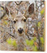 Mule Deer Portrait In The Pike National Forest Wood Print