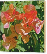 Multi-colored Bougainvillea At Pilgrim Place In Claremont-california  Wood Print