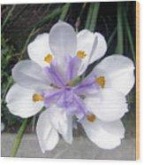 Multi-petal White Iris Flower. Very Unusual, Rare Form Wood Print