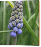 Muscari Drops Wood Print