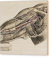 Muscles And Blood Vessels In Arm, 1851 Wood Print